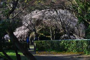 White Weeping Sakura 023