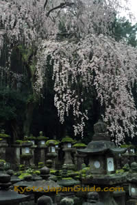 Cherry blossoms and lanterns 027