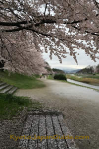 Cherry blossoms on Kamagawa River 011