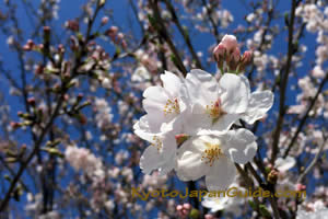 Cherry blossoms on blue 003