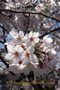 Full bloom sakura 011