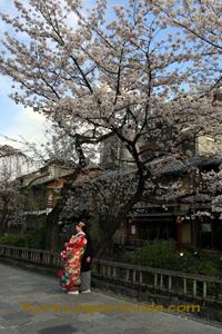 Gion District kimono and cherry tree 073