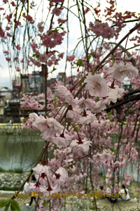 Kamogawa River through weeping cherry blossoms 085