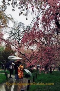 Kimono in the rain with sakura 043