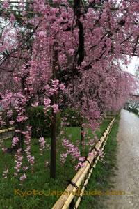 Nakaragi Path weeping sakura 023