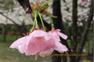 Pink cherry blossom 051