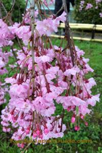 Pink weeping sakura 027