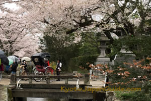 Red rickshaw on Kyoto bridge with sakura 065