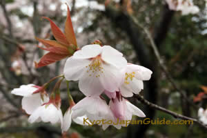 Sakura and fresh leaves 037