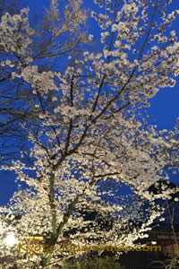 Sakura and night sky 011