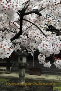 Sakura and stone lantern at Shinnyo-do temple 043