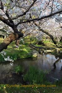 Sakura and stream 001