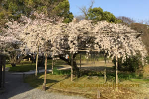 Sakura on trellis 017