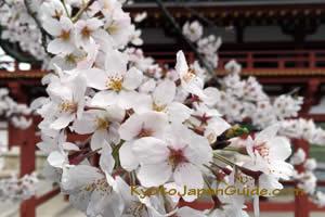 Sakura peak Byodo-in 011