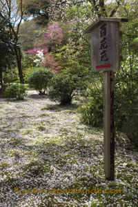 Sakura petals on moss 077