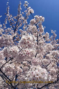 Sunny day and cherry blossoms 003