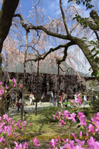 Tenryu-ji and weeping sakura 091