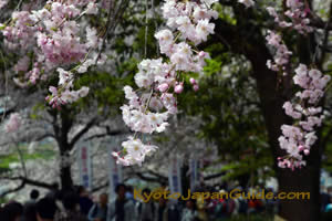 Weeping Sakura at Yodogawa River Park 043