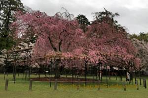 Weeping cherry tree in Kamigamo Jinja Shrine 053