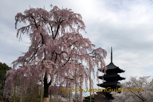 Weeping sakura at To-ji Temple 051
