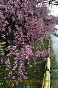 Weeping sakura on Nakaragi no michi 025