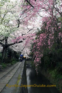 Weeping sakura on Philosophers Path 068