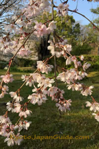 Weeping sakura over lawn 021