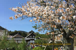 White sakura in front of Tenryu-ji Temple 047