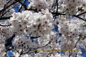 Yawata-shi sakura against blue sky 023