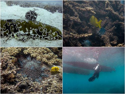 sea cucumber, tang fish, crown of thorns star fish