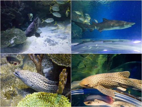 giant grouper, sand tiger shark, moray eel, leopard shark