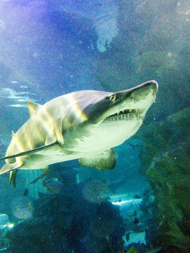 the magnificent sand tiger shark at Aquaria KLCC