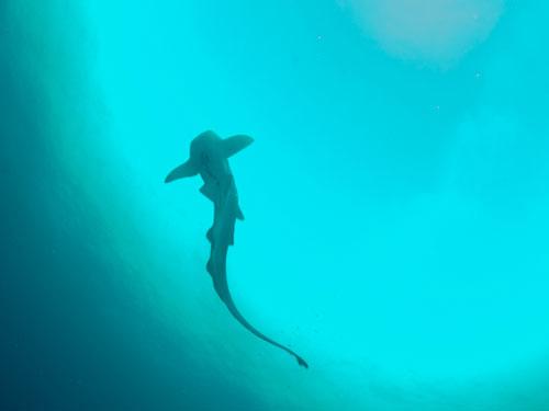 Leopard Shark at Lang Tengah
