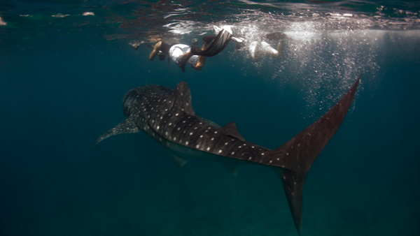 day 3 - swimming with whale shark