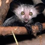 Un aye-aye de Madagascar.