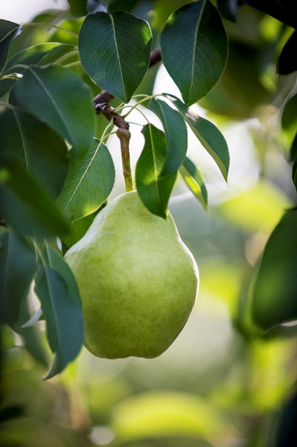 Pear-on-the-tree-web-1-07071ed1689ed37472bc5b4b514f01ec5c2ed350