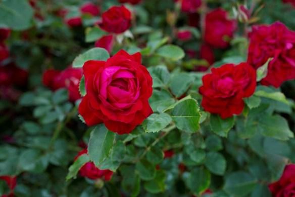 Canadian-Shield-roses-with-foliage-web-668d975e9ae4847d0f3f572e8888cc0f843f0cda