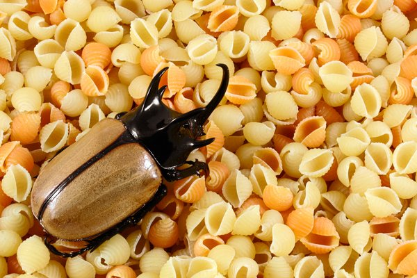 Bugs In Pasta Pasta Beetle | Free Stock Photos - Rgbstock -free Stock