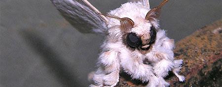 Venezuelan Poodle Moth (Dr. Arthur Anker, Flickr)