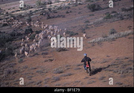 Mustering Sheep With Motorbike Australia Stock Photo 13460503 Alamy - Mustering Jobs Australia