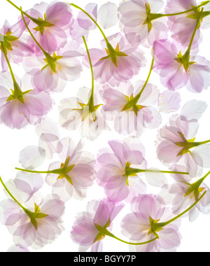 Sakura Falling Live Wallpaper Spring Cherry Blossom Background With Falling Petals Stock