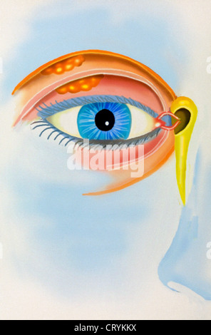 The lacrimal apparatus Stock Photo 275457863 - Alamy