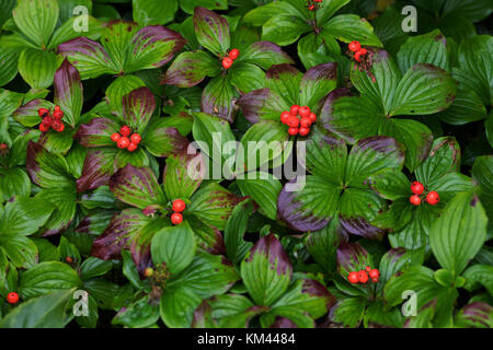 Ground Cover Floral Carpet Of Red And Green Leaves Of The