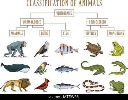 Classification of Animals Reptiles amphibians mammals birds