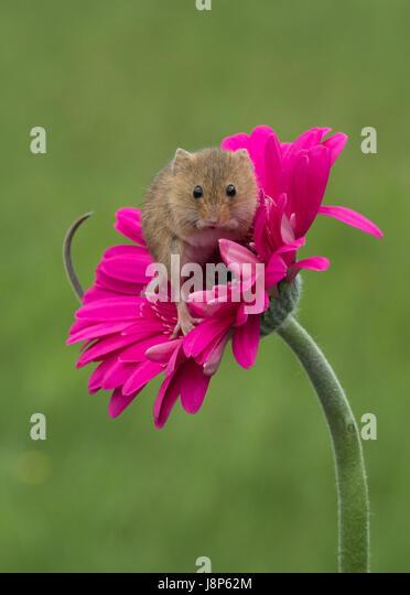 Cute Mice Stock Photos  Cute Mice Stock Images - Alamy