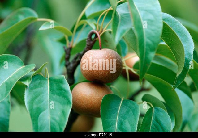 Shinseiki Asian Pear Stock Photos & Shinseiki Asian Pear Stock
