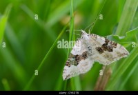 Carpet Moth Larvae Stock Photos & Carpet Moth Larvae Stock ...