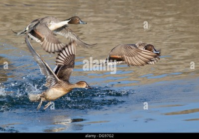 Hen And Drake Stock Photos & Hen And Drake Stock Images - Alamy