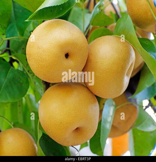 Nashi Pear Stock Photos & Nashi Pear Stock Images - Alamy