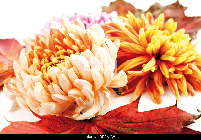 St Paul Mn Fall Wallpapers Chrysanthemums And Autumn Stock Photos Amp Chrysanthemums
